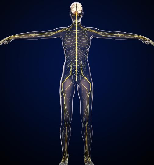 神経は大きく分けて脳や脊髄
