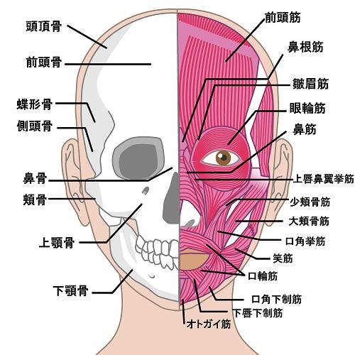 表情筋のみ顔の皮膚に直接を付着