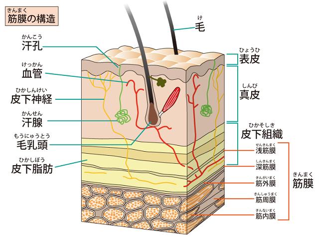 筋膜について