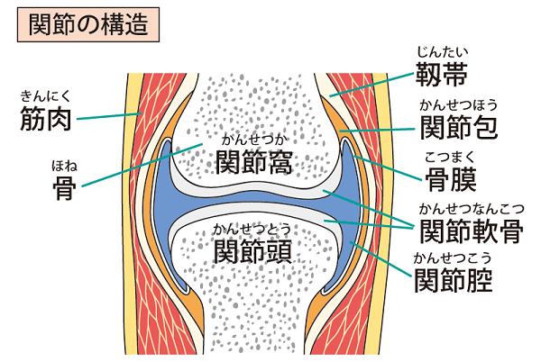 関節軟骨・関節包・靱帯